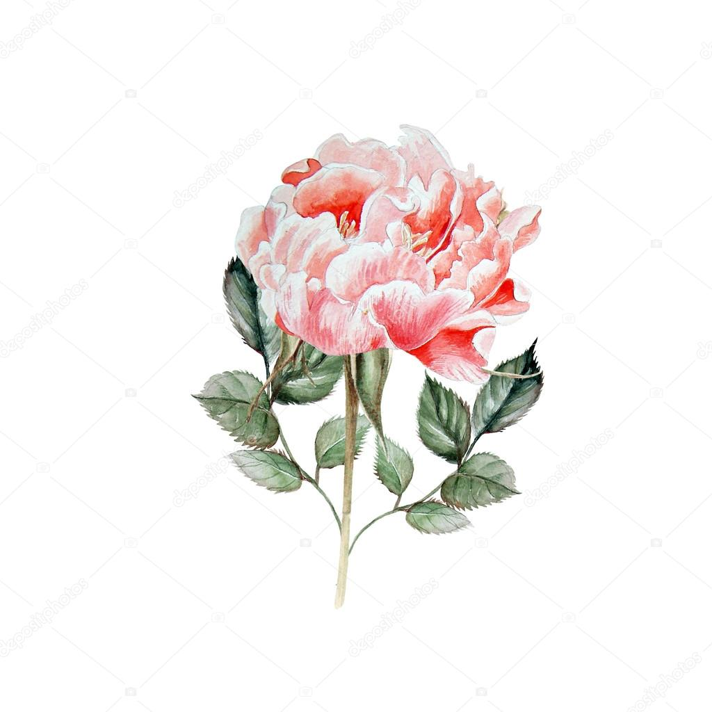 Aquarelle Rose Realiste Dessin De La Main Photographie Knopazyzy