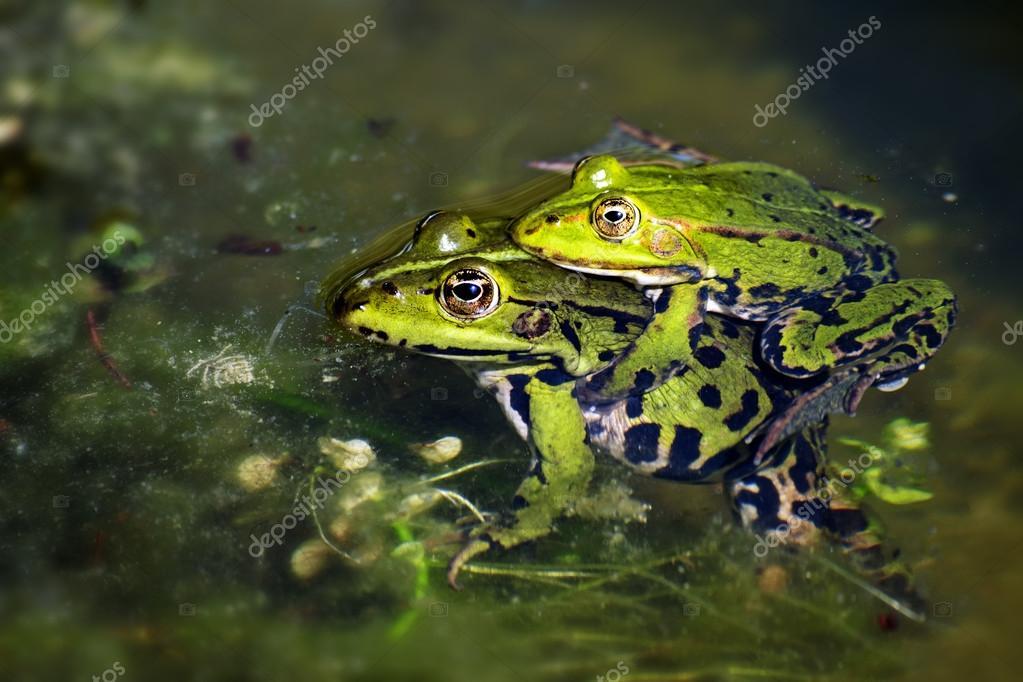 grüne Frösche während Paarungszeit im Teich, männlich, sitzen auf ...