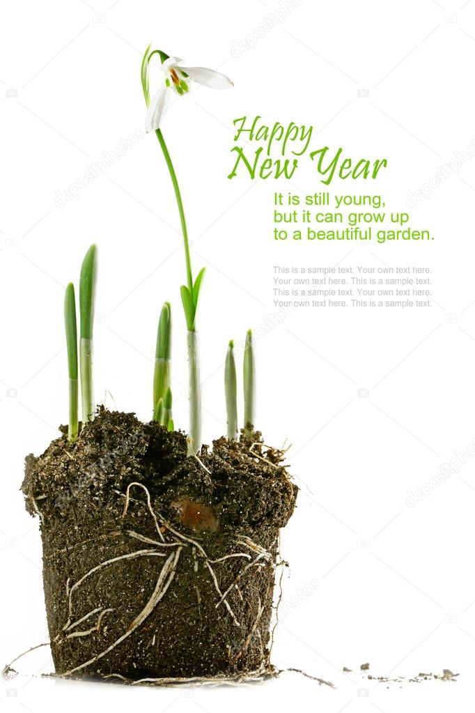 snowdrop with soil, isolated on white, sample text on white, new