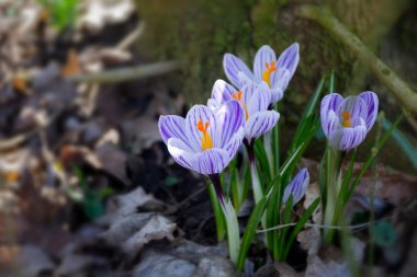 group of crocus flowers in the early spring garden