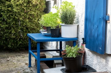 culinary herbs in plant pots on a blue table