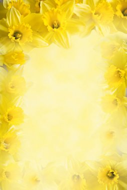 frame from  daffodils, yellow flower background with copy space