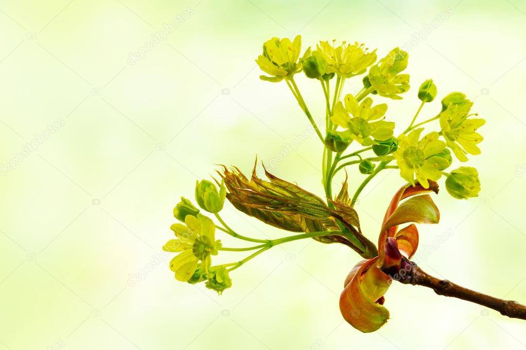 spring flowers of the norway maple tree, Acer platanoides, again