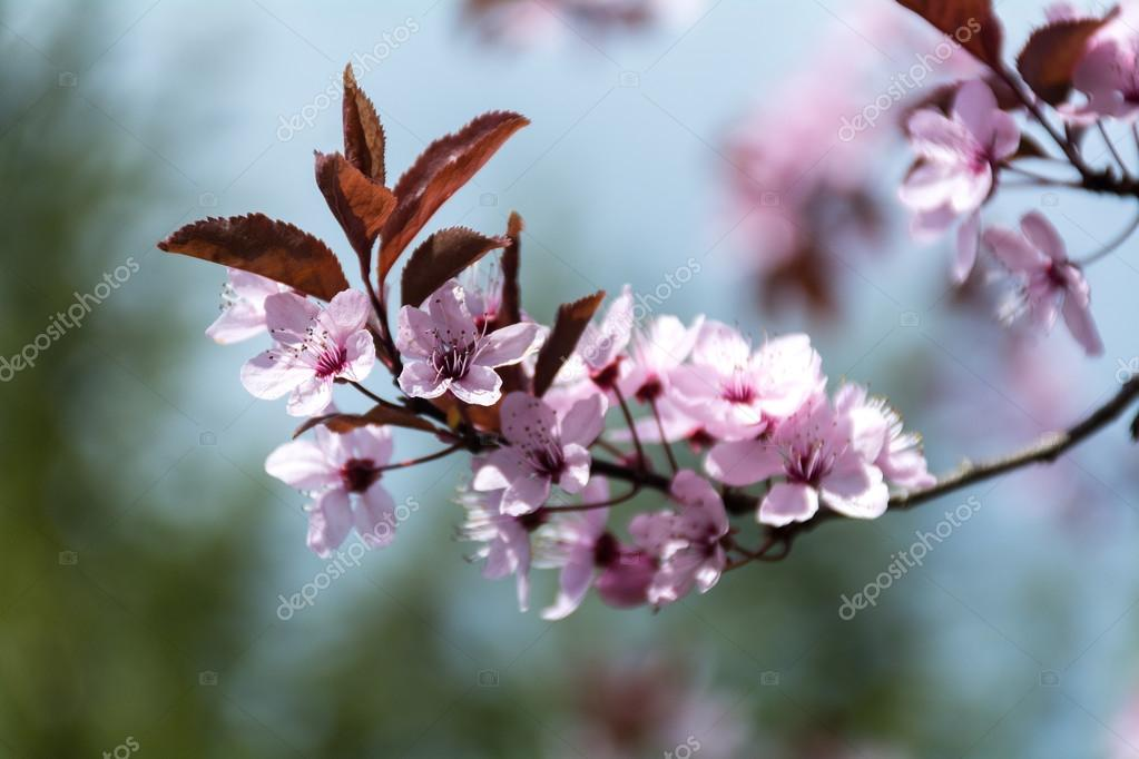 branch with pink plum blossom in spring, shallow depth of field