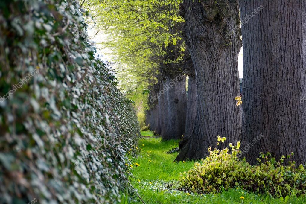 ivy wall and a row of big old tree trunks