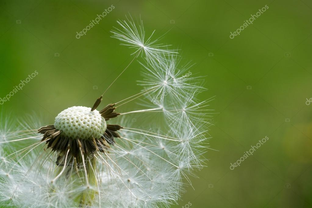 dandelion, closeup  against  green background