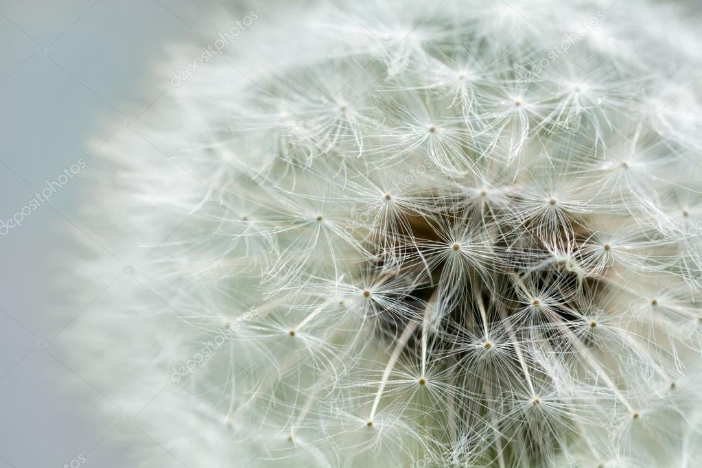 dandelion blowball, close up, blurred background