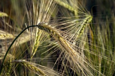 ears of barley with long awns in a field