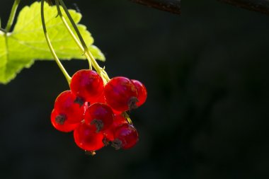 red currants on a bush in the back light, dark background with c