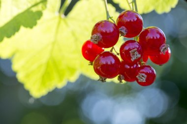 Red currants on a bush in the garden