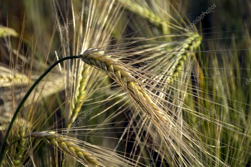 Ears Of Barley With Long Awns In A Field Stock Photo