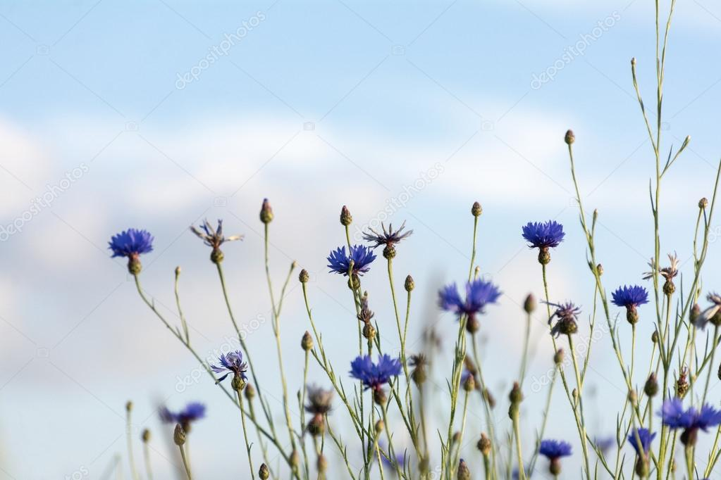 cornflowers against the blue sky
