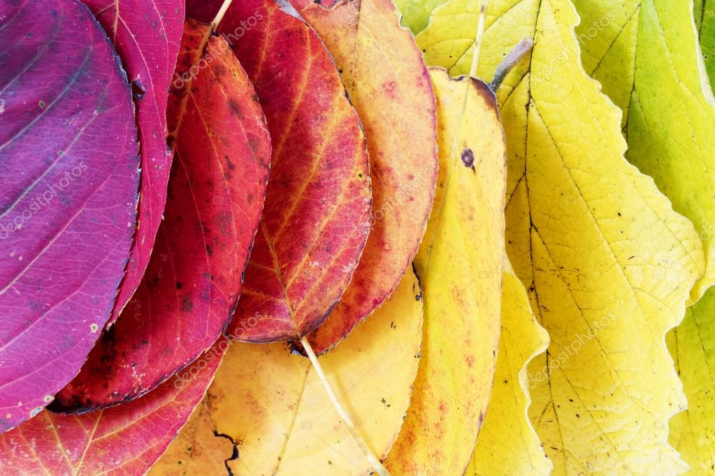 autumn  background, colorful leaves arranged as a rainbow