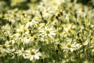 tickseed or Coreopsis verticillata or Moonbeam with bright yello