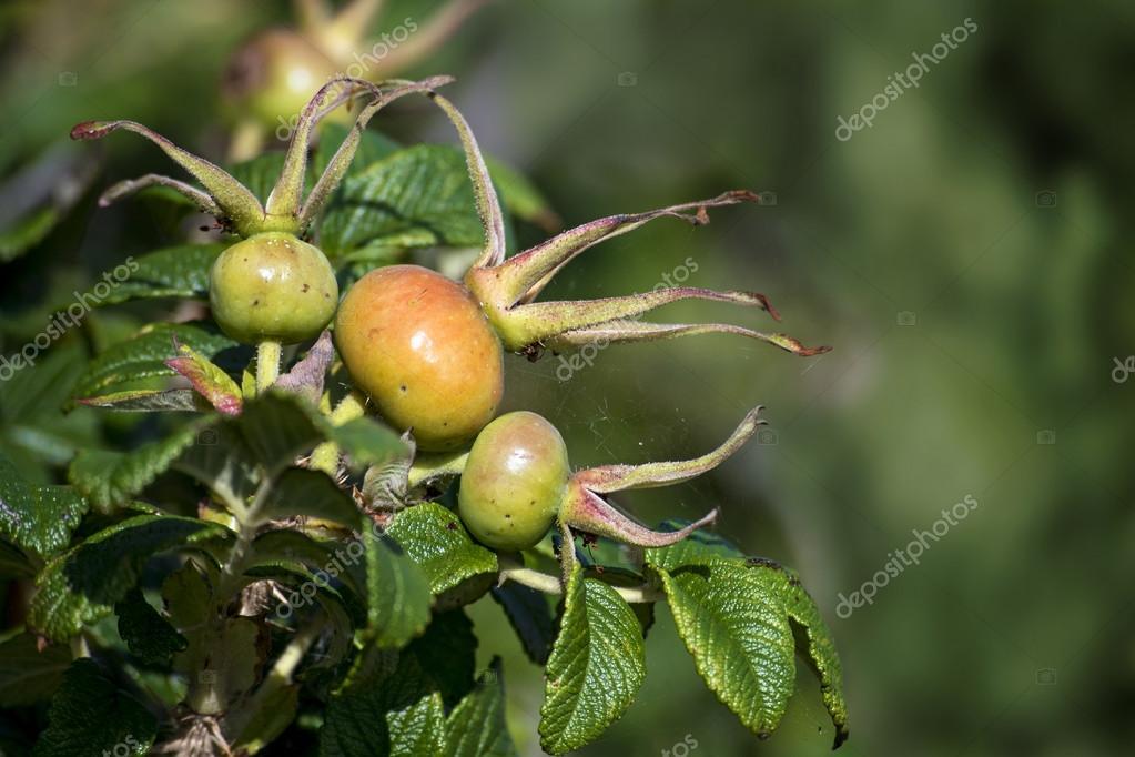 rose hips at a shrub of rosa rugosa