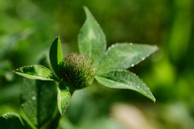 clover bud with sparkling dew drops