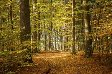 deciduous forest on a sunny autumn day with colorful leaves on t