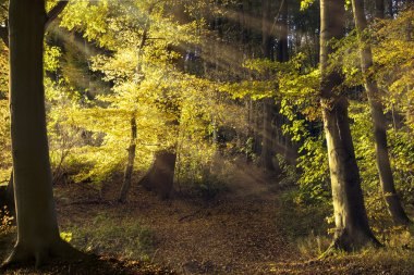 path in the old forest with beech trees, sunbeams shining throug