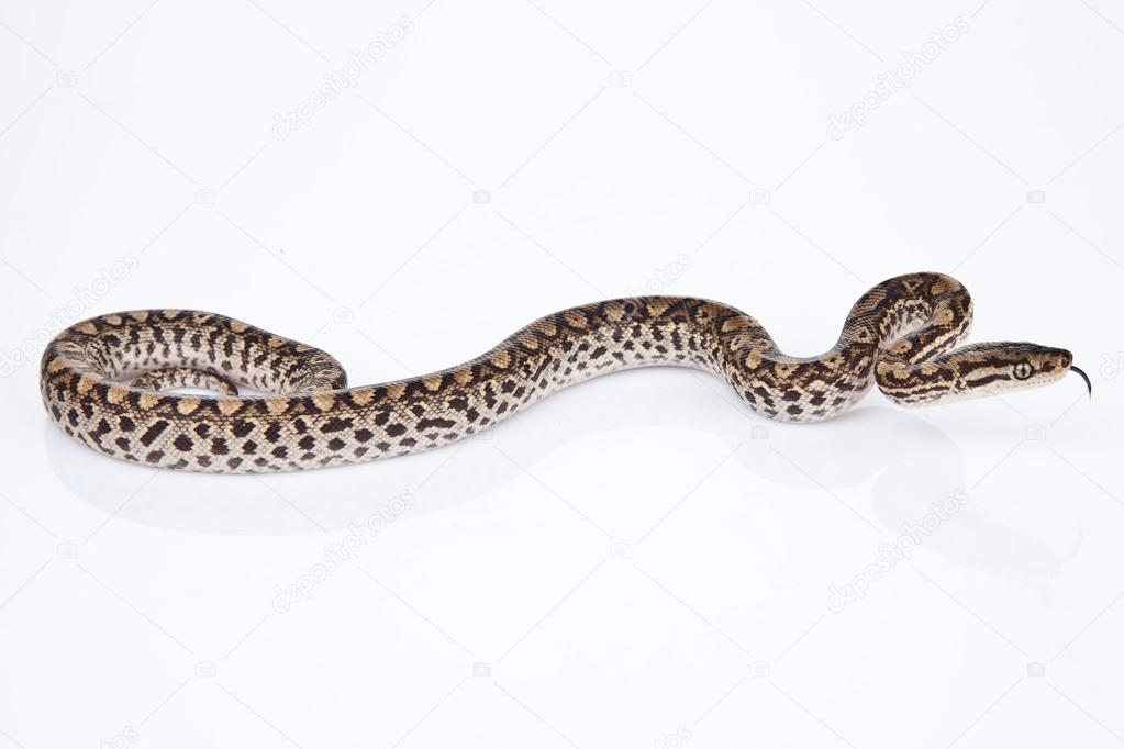 BOA SNAKE with white background