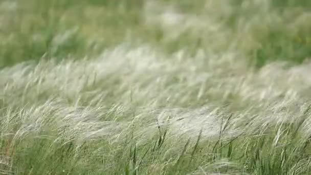Feather grass in windy weather
