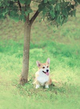 Sweet dog Welsh Corgi Pembroke sitting on the grass near tree, s