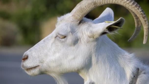 Hlava bílého kozla