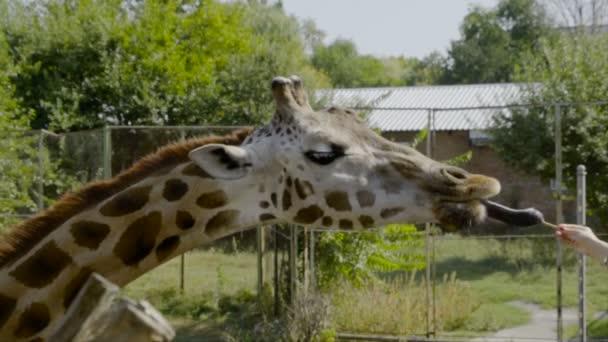 Žirafy v zoo bere jídlo