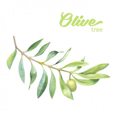 Green watercolor olive branch on white background stock vector