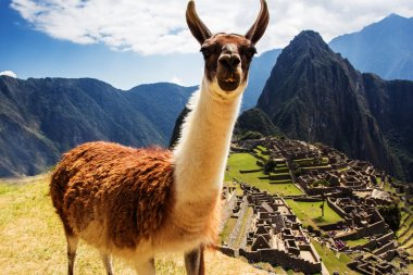 Lama at Machu Picchu, Incas ruins in the peruvian Andes at Cuzco Peru