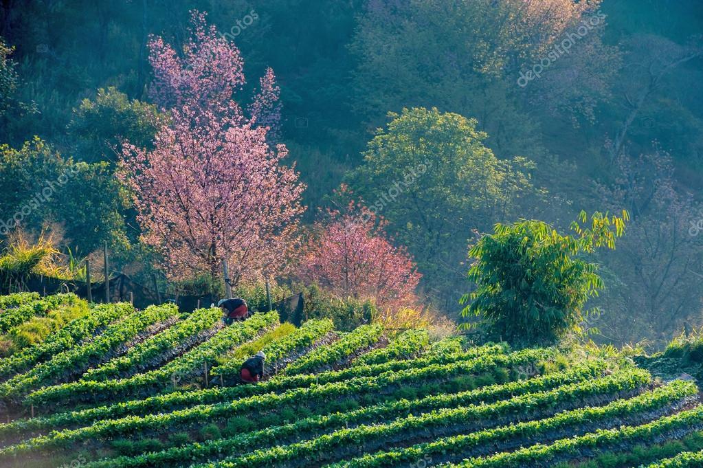 Tea plantation and Cherry blossom