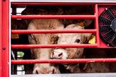 doznává oči krav za plotem