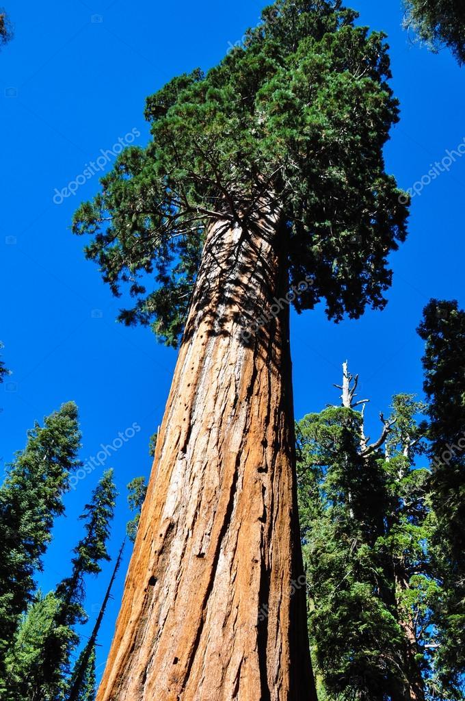 eines der gr ten sequoia baum der welt sequoia national p stockfoto brizardh 53269877. Black Bedroom Furniture Sets. Home Design Ideas