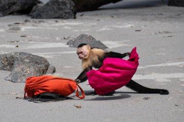 Call the police! White faced capuchin in Manuel Antonio, Costa R