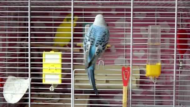 Papoušek vlnitý