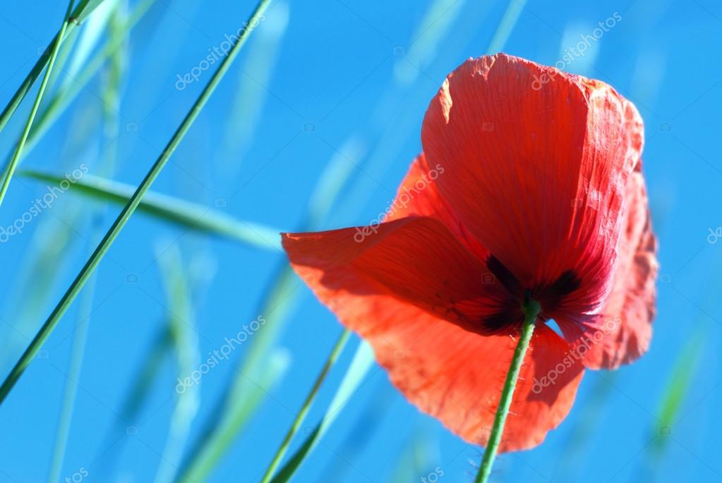 Red poppy seed against the blue sky