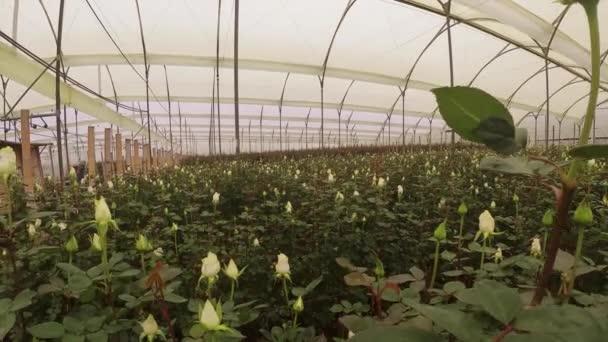 velká výsadba růží ve skleníku s plastovou konstrukcí, květiny hnijící s mnoha listy, den
