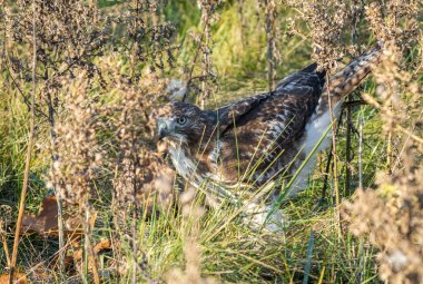 red tailed hawk has caught something to eat