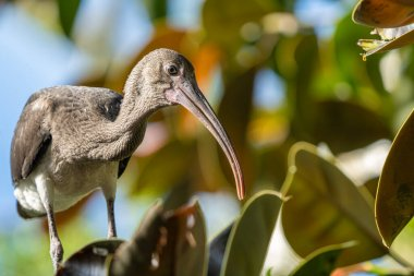 curious ibis is perched high on a tree limb on a sunny day