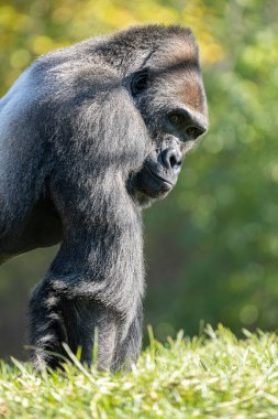 adult male silver back gorilla gets a close up on a sunny day under the trees