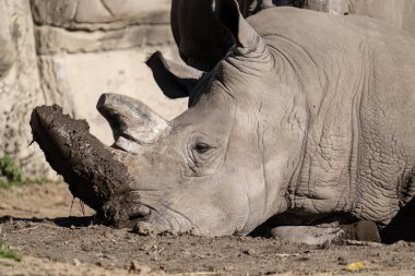 adult white rhino gets a close up portrait while enjoying a day of relaxing in the mud
