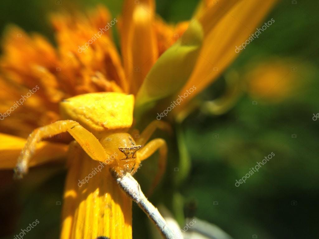Yellow Spider On Flower Stock Photo 3356028clashot 85228660