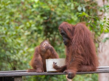 Mom and baby orangutans have breakfast in the jungles of Indonesia (Kalimantan, Borneo)