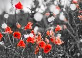 Fotografie červené květy máku na hřišti