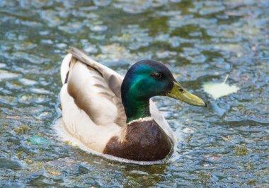 Nice Duck