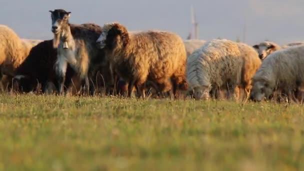 Stádo ovcí pasoucí se v horském údolí