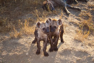 Two Spotted Hyena Cub with Mum