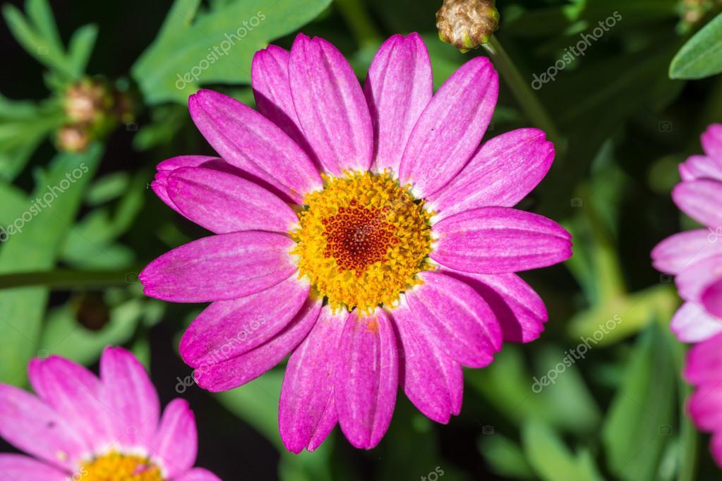 flor Margarita Rosa — Fotos de Stock © luckeyman #72255253