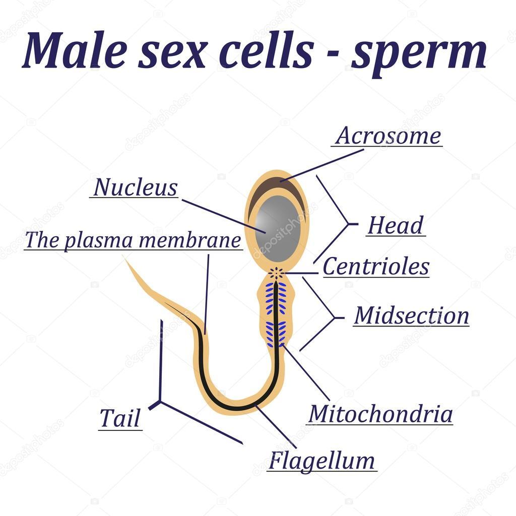 Diagramm der männlichen Geschlechts Zellen - Sperma — Stockvektor ...