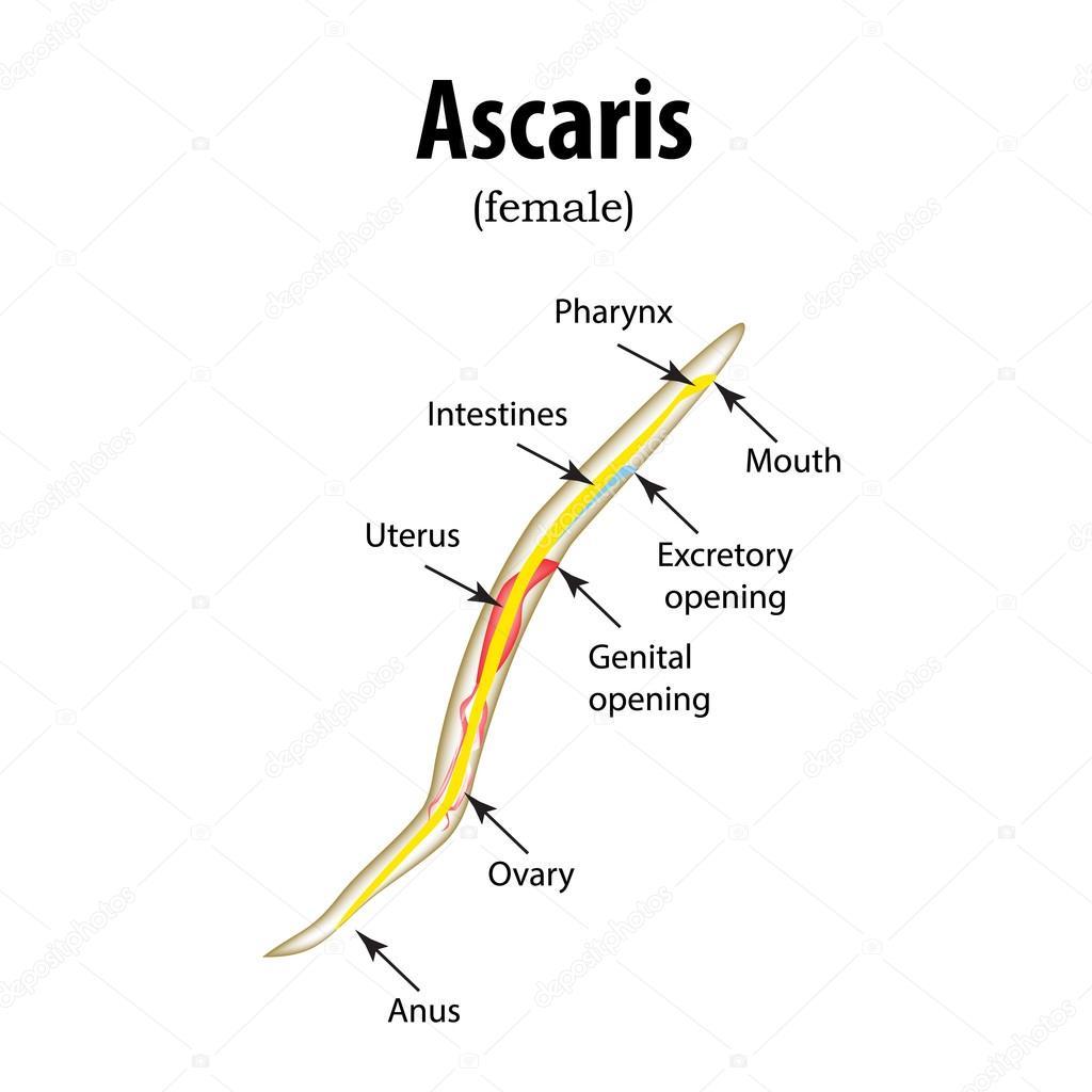 ascaris gömbölyű szerkezet