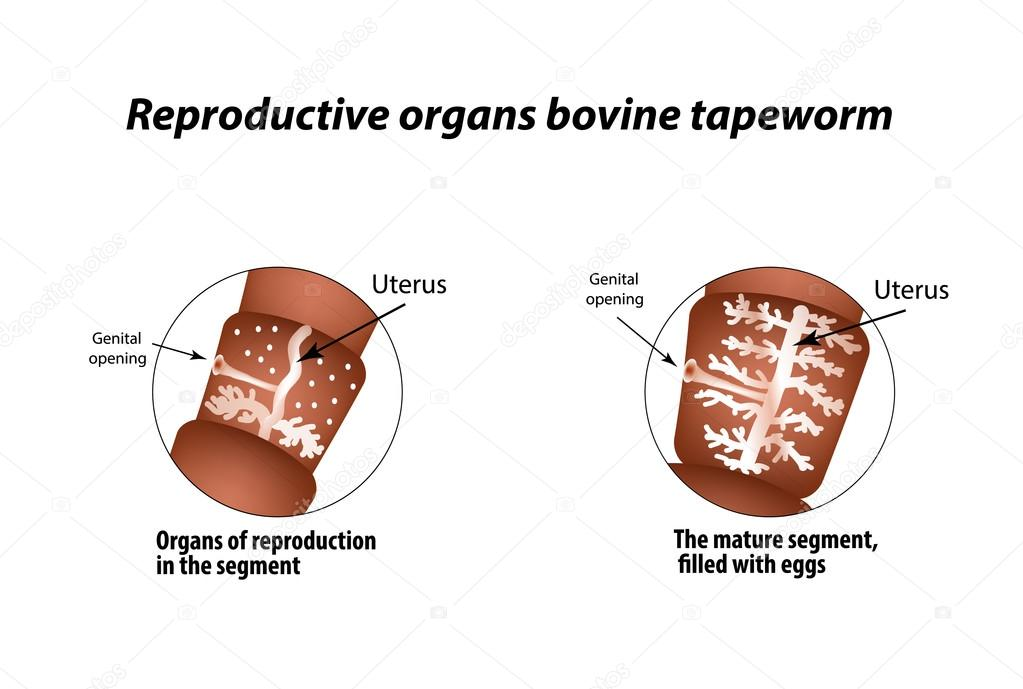 The Structure Of The Reproductive Organs Of Bovine Tapeworm